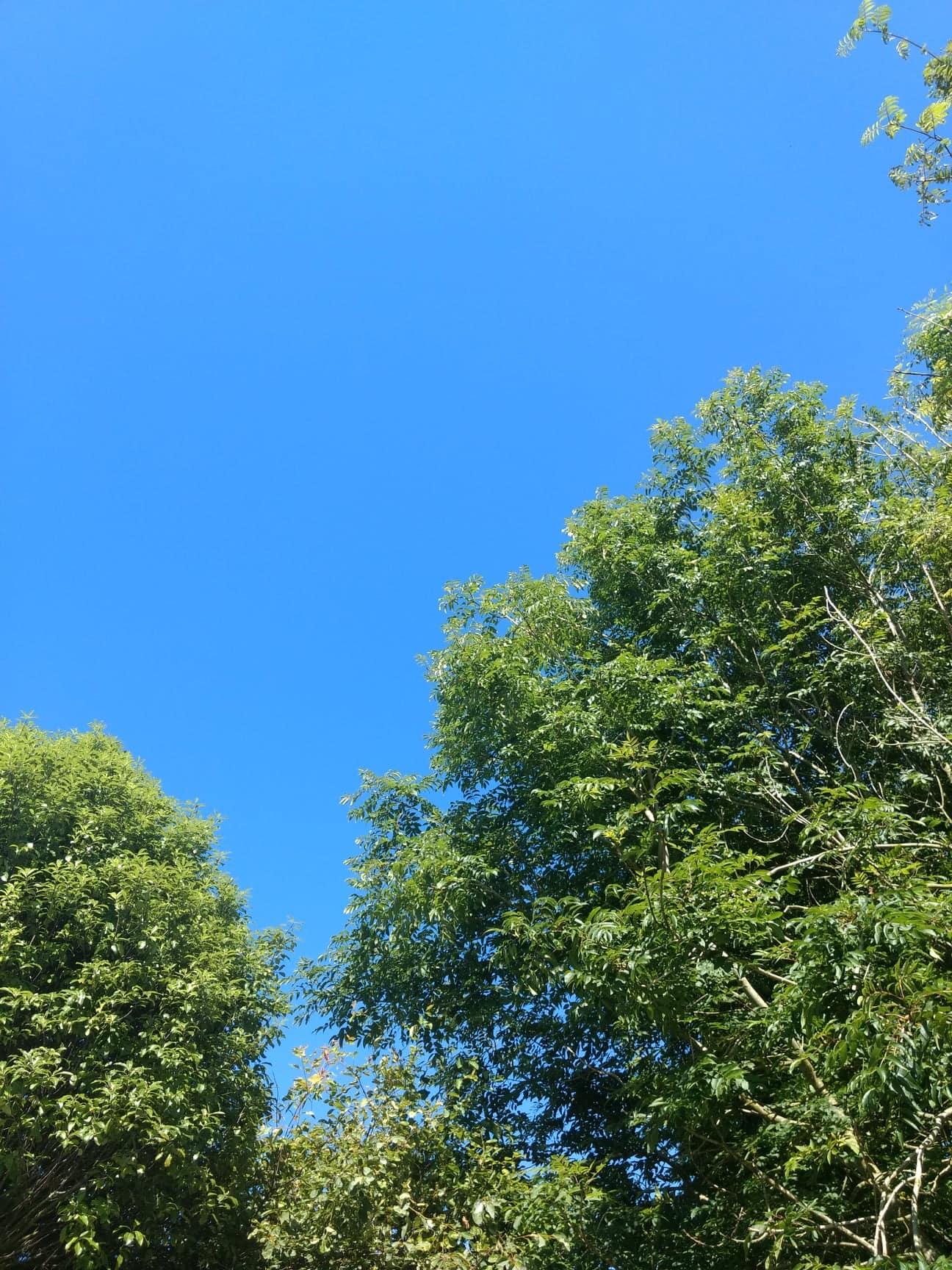 Trees in summer.jpg